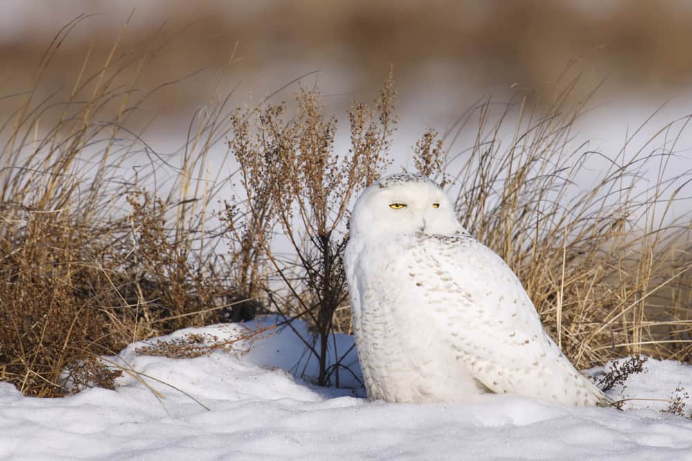White, Snowy Owl sitting in the snow
